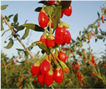 goji-berries-vine